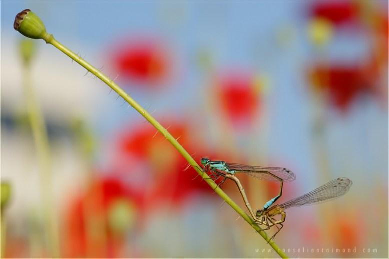 poppies damselflies summer mating