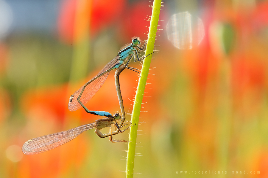 poppies damselflies summer mating