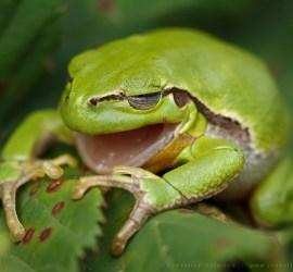 Yawning Tree frog