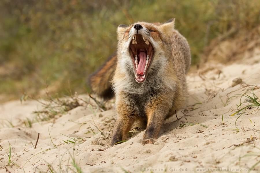 Red fox yawning and stretching