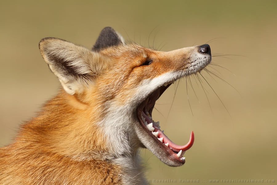 Red Fox yawning with tongue out of its mouth