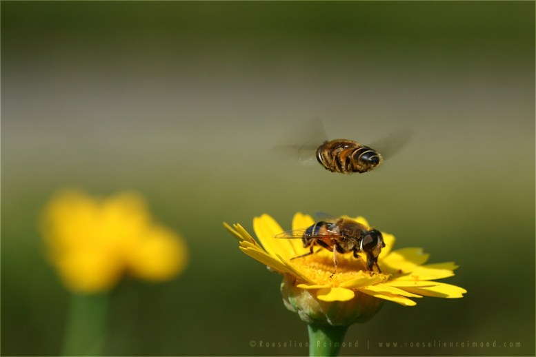 Hoverfly Helophilus pendulus hovering flower insect macro