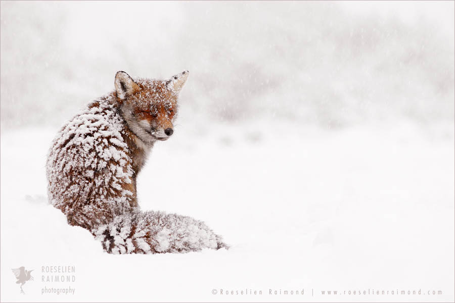 wildlife red fox vulpes vulpes snow winter white cold