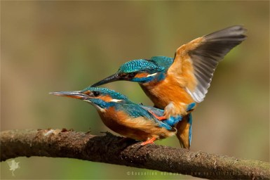 Common Kingfisher Alcedo atthis IJsvogel copulating mating courtship male female