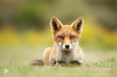 wildlife red fox vulpes vulpes relaxed wild animal mindfull zen