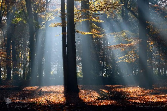 Sunrise creating light beams in an early morning beech forest