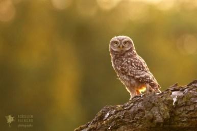 Little Owl Athene noctua owlet younster nestling backlight back-lit Bird photography baby animal