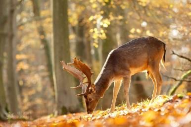 dama dama damhert buck antlers wildlife