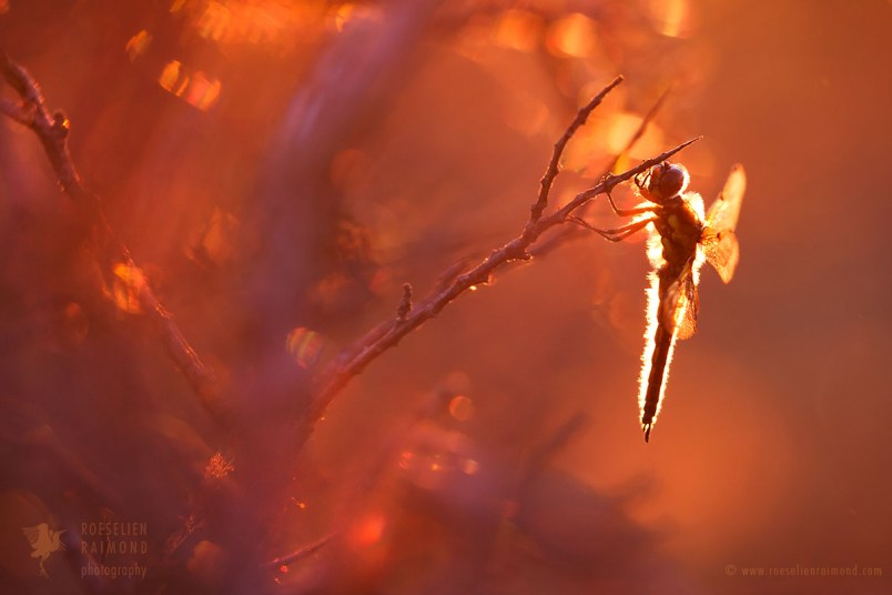 The four-spotted chaser (Libellula quadrimaculata),