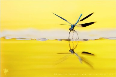 Banded Demoiselle calopteryx splendens reflection water