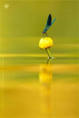Banded Demoiselle (calopteryx splendens) sitting on a blooming yellow Water-lily (Nuphar lutea)