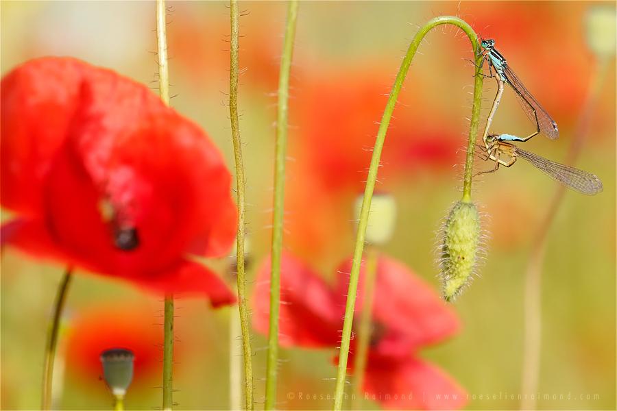 damselflies macro Coenagrion pulchellum photography