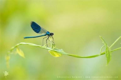 Banded Demoiselle Calopteryx splendens male