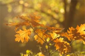 autumn light leafs mood atmoshere tree bokeh Flower photography