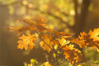 autumn light leafs mood atmoshere tree bokeh Flower photography