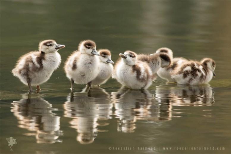 baby_ducklings
