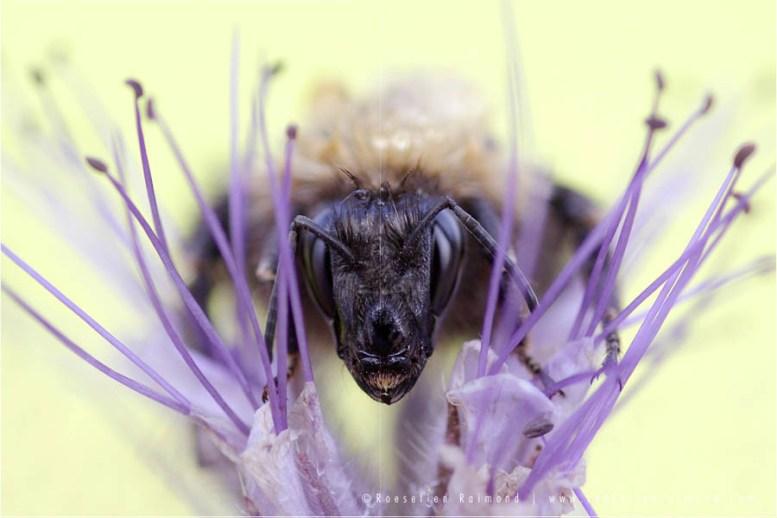 Bombus bumblebee insect macro photography macro