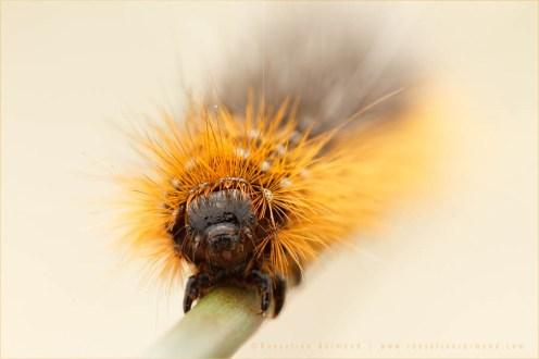 Garden Tiger Moth Arctia caja caterpillar butterfly insect macro photography nature