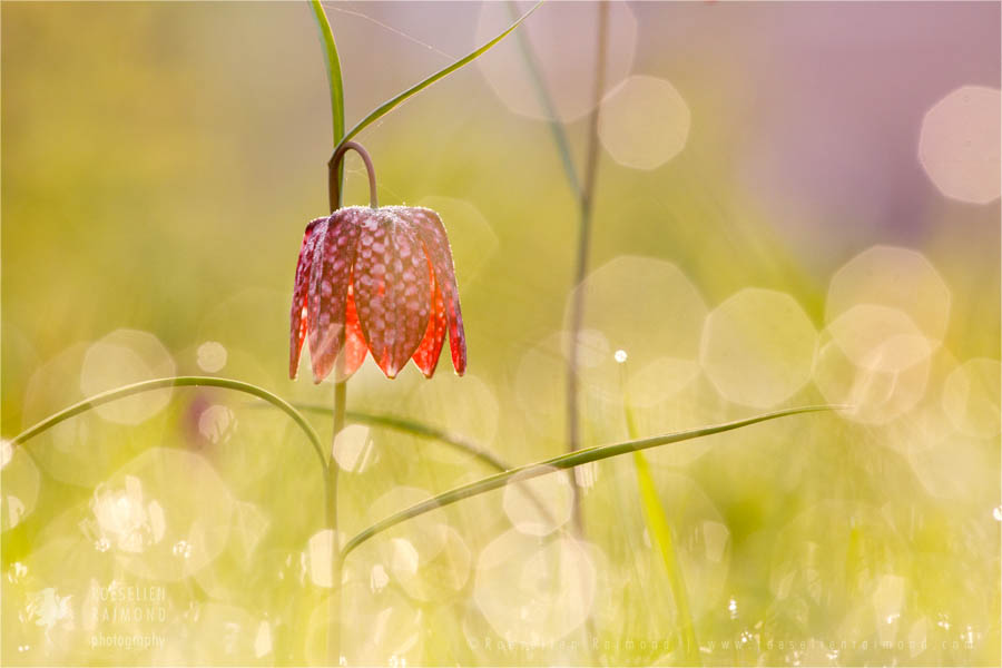 Fritillaria meleagris snake's head fritillary snake's head kievitsbloem chess flower frog-cup guinea-hen flower leper lily Lazarus bell checkered lily fritillary Flower photography