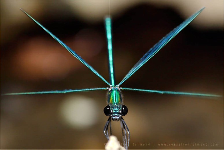 Banded Demoiselle macro photography Calopteryx splendens insect macro wings spread male