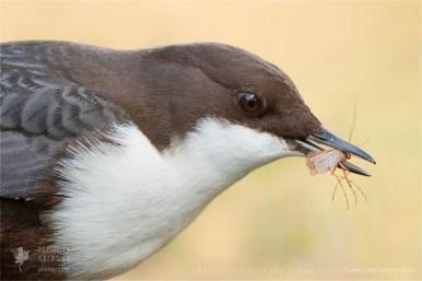 White-throated Dipper (Cinclus cinclus)Cinclus cinclus rare red list Bird photography