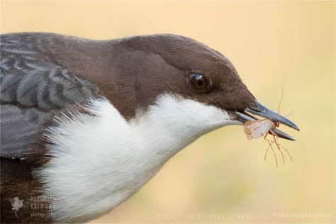 White-throated Dipper (Cinclus cinclus)Cinclus cinclus rare red list Bird photography