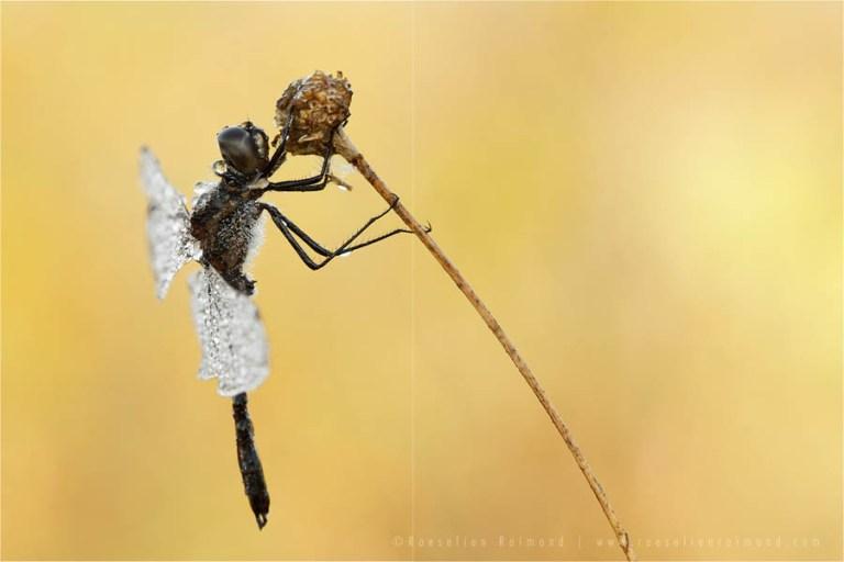 Black Darter Sympetrum danae sunrise light bokeh mood macro photography dew