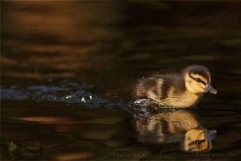 Wild Duckling Anas platyrhynchos mallard duck cute insect Bird photography