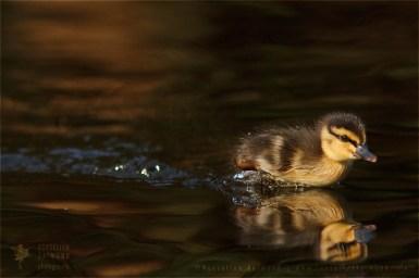 Wild Duckling Anas platyrhynchos mallard duck cute insect Bird photography