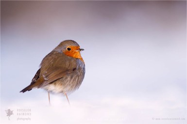 Bird photography European Robin Erithacus rubecula winter snow cold white
