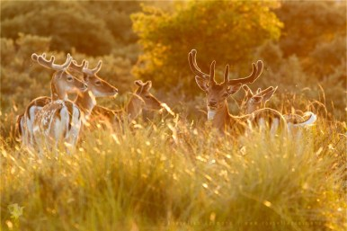 Fallow Deer Dama dama male buck backlight backlit sunset