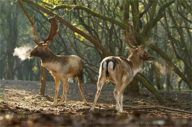 wildlife fallow deer Dama dama fight fighting forest