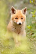 red fox vulpes vulpes vos water rain soaking