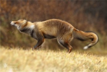 wildlife red fox vulpes vulpes shaking wild animal