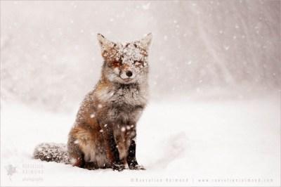 photo art fineart Zen foxes: Fairytale Fox in the snow
