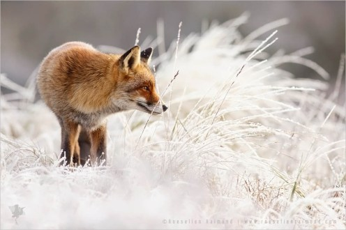 red fox hoar frost rime nature photography fine art fox snow