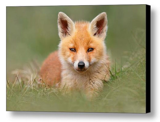 Framed fineart fox phots