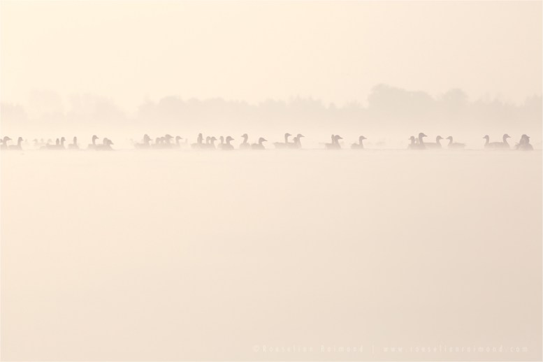 mist fog sunrise water silhouettes Bird photography Greylag Goose Anser anser nature photography mist