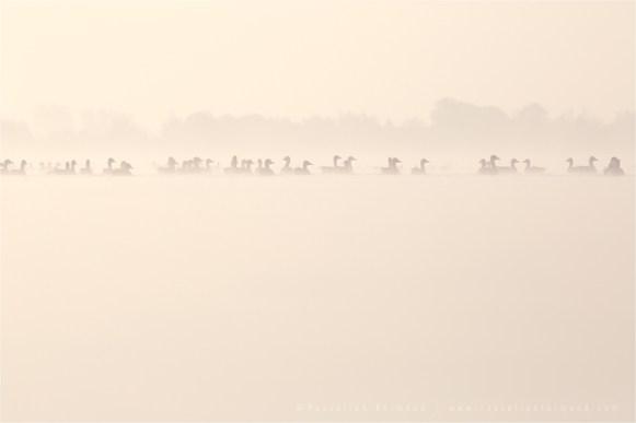 mist fog sunrise water silhouettes Bird photography Greylag Goose Anser anser nature photography mist