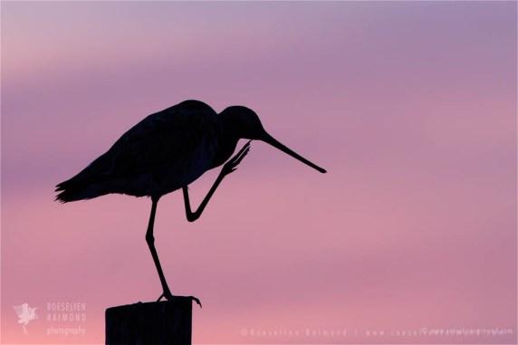 silhouette sunset sundown Bird photography Black-tailed Godwit Limosa limosa