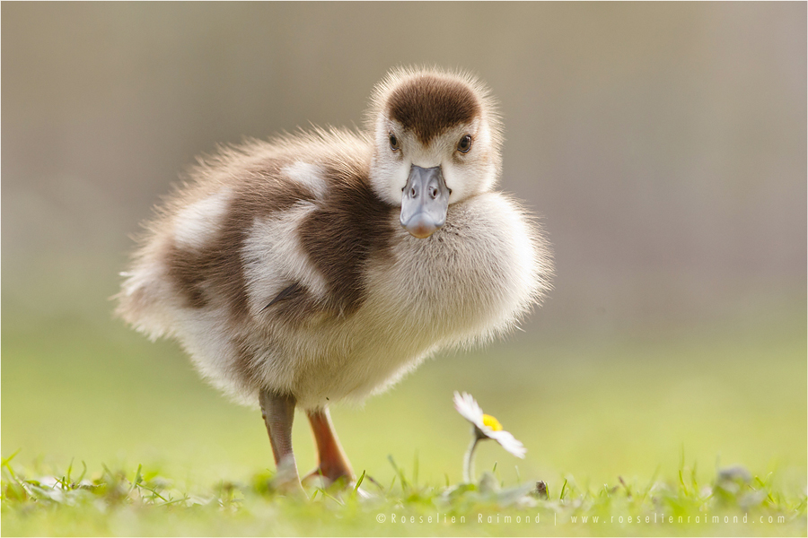 Egyptian goose Alopochen aegyptiaca gosling bird photography