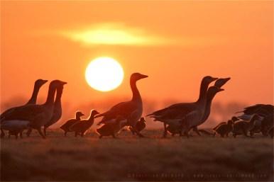 bird mist fog sunrise goslings silhouettes Bird photography Greylag Goose Anser anser