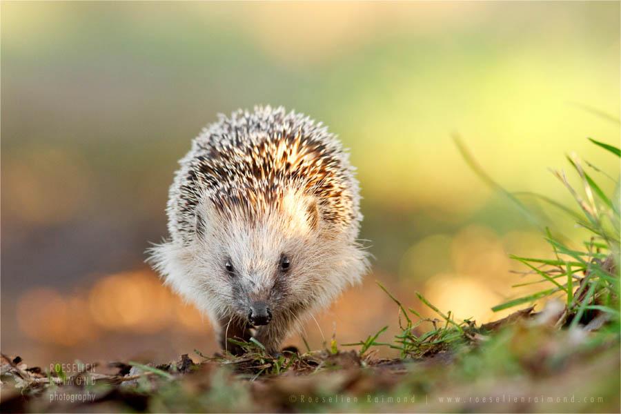 wildlife hedgehog Erinaceus europaeus