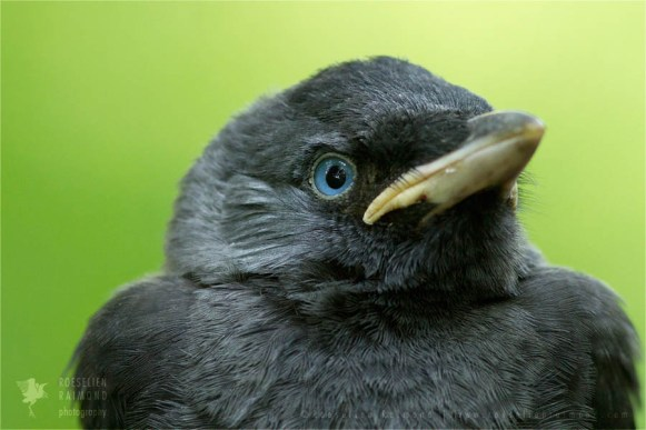 bird photography Western Jackdaw Corvus monedula nestling