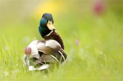 Wild Duck | Mallard Anas platyrhynchos flowers fritillary Bird photography