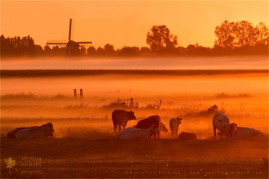 polder sunrise mist fog light cows meadow mill snature photography fine art