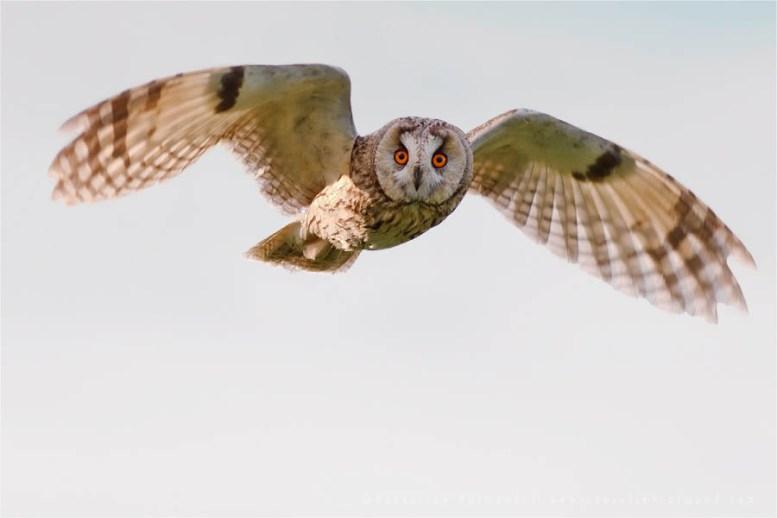 Long-eared Owl Asio otus Strix otus flight flying bird photography
