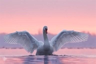 Pretty in Pink Mute swan Cygnus olor