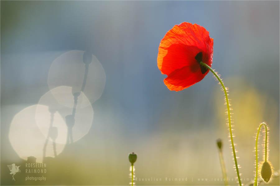 Corn Poppy Papaver rhoeas klaproos bloem Flower photography