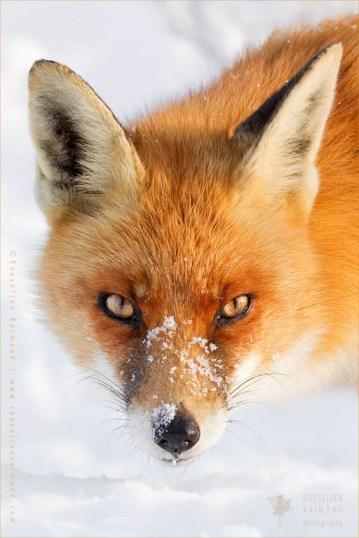 portrait face snow cold winter fox vulpes fuchs zorro renard